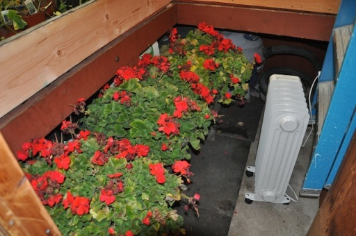 geraniums-by-heater.jpg
