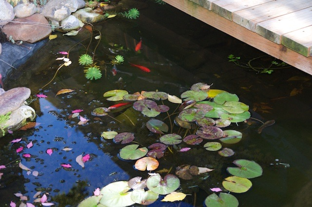 lily-pads-and-fish-sept2010.jpg