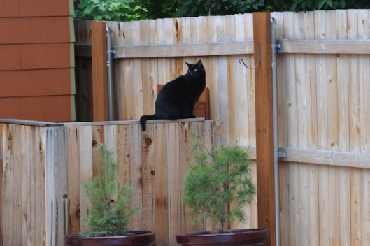 pippin_at_fence
