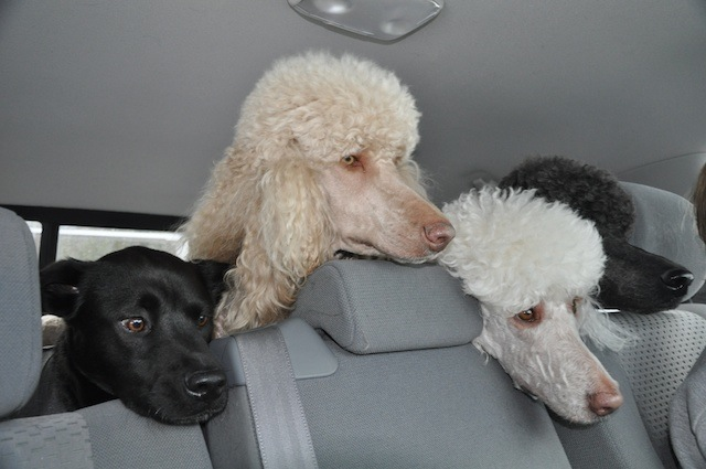 dogs-in-backseat.jpg