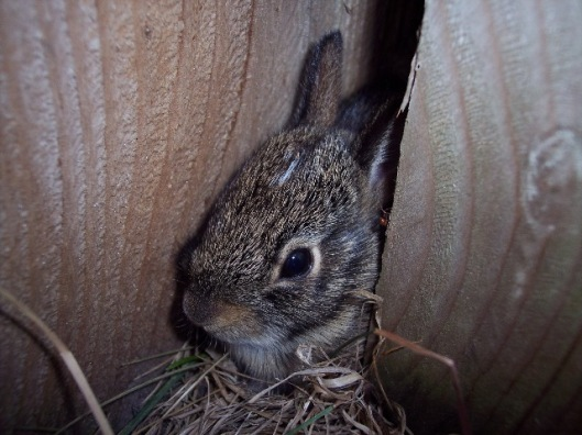 Baby bunny hiding behind a fence post