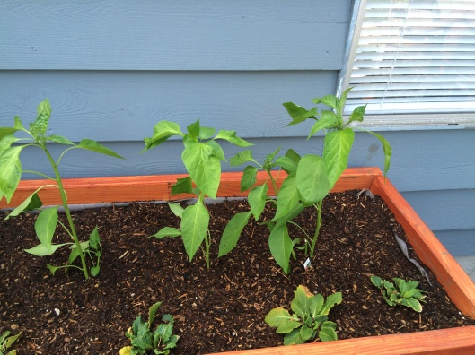 These peppers grew back from bare little stems